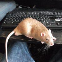 A writer's rat
