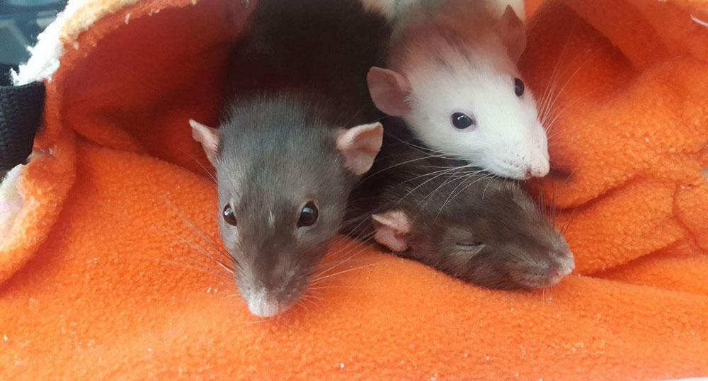 Daria and rats