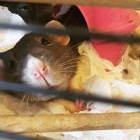 Daria the rat